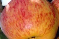 Яблоня Призовое