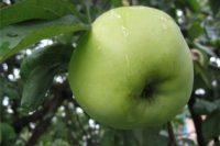 Яблоня Магнитогорское зимнее