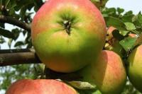 Яблоня Осенние
