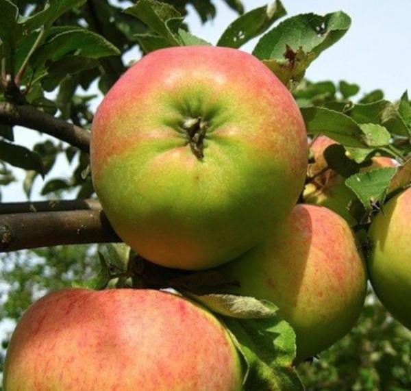 Яблоня Бельфлер башкирский