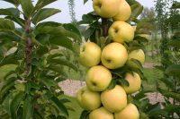 Яблоня Медок Колоновидная