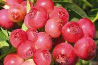 Голубика Pink Lemmonade
