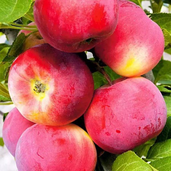 Яблоня Серебряное копытце