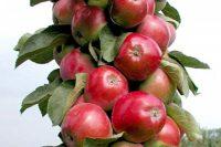 Яблоня Васюган колоновидная