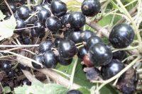 Смородина черная Пигмей