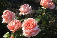 Розы Нобилис