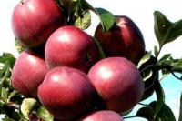 Яблоня Титания