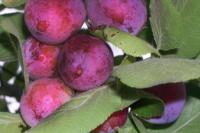 Cливо-вишневые гибриды