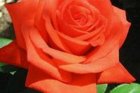 Роза Верано